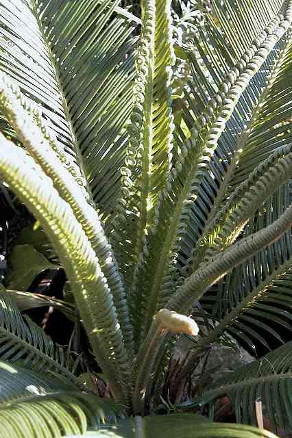 Palmfarn Cycas Revoluta Infos Zur Pflege Und Anzucht