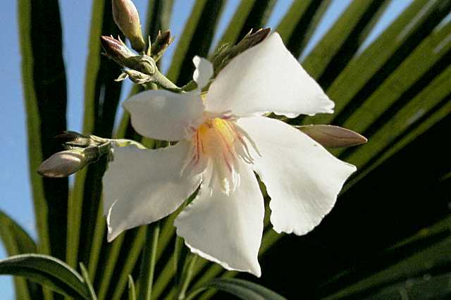 oleander nerium oleander infos zur pflege und anzucht. Black Bedroom Furniture Sets. Home Design Ideas
