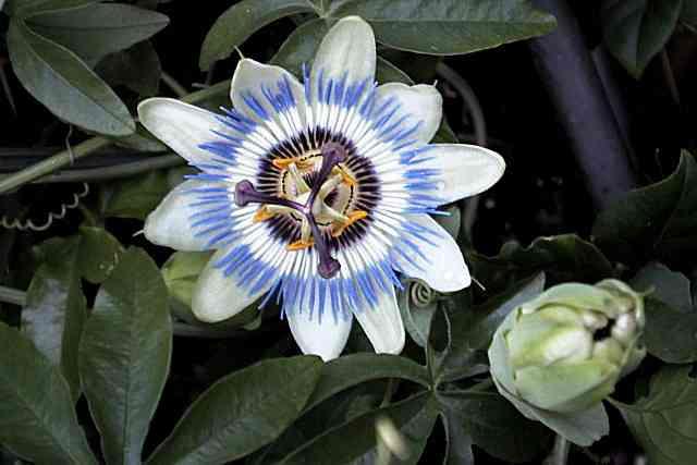 Passiflora Caerulea (passionsblume): Infos Zur Pflege Und Anzucht Schone Passionsblume Pflege Tipps Zimmerpflanzen