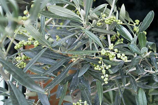 olivenbaum olea europaea pflege und kultur. Black Bedroom Furniture Sets. Home Design Ideas