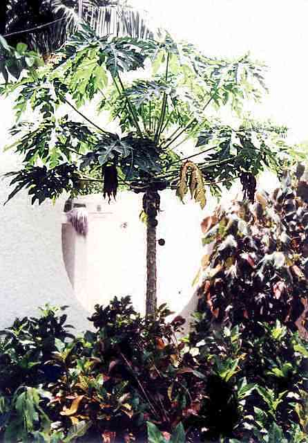 papaya carica papaya anzucht pflege und kultur. Black Bedroom Furniture Sets. Home Design Ideas