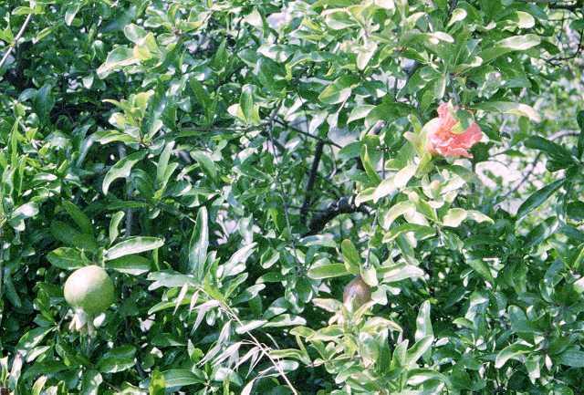 granatapfelbaum punica granatum anzucht pflege und kultur. Black Bedroom Furniture Sets. Home Design Ideas