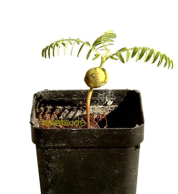 Tamarindenämling (Tamarindus Indica)